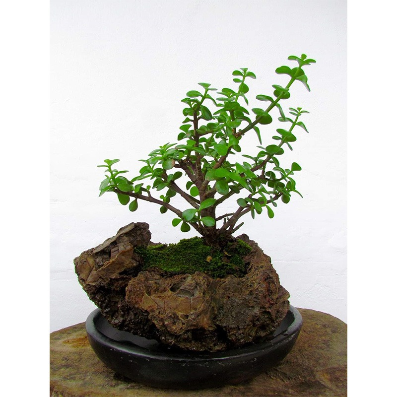 Bonsai Ebani Colombia