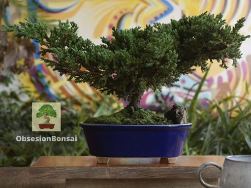 3 tips antes de sembrar un Bonsai