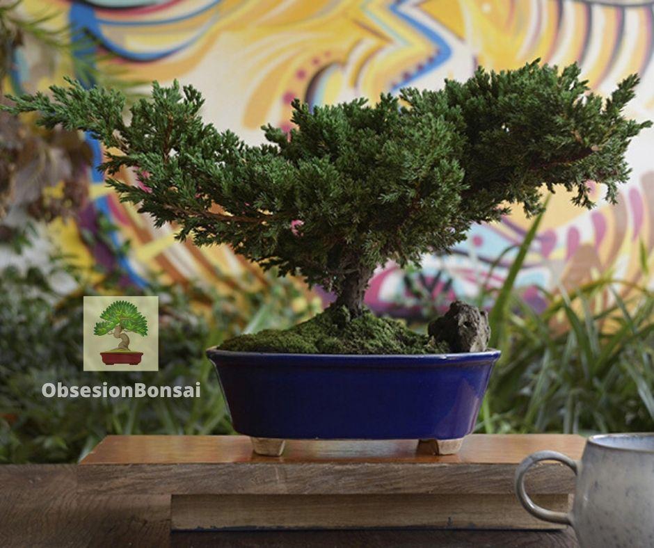 3 tips antes de sembrar un Bonsai