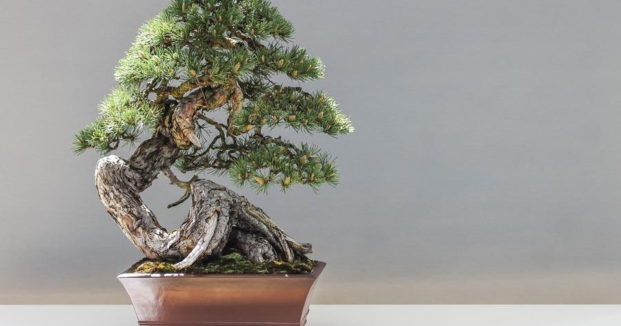 Arbol bonsai en matera fondo gris