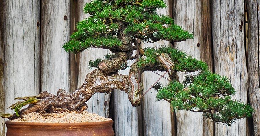 bonsai con tronco torcido, considerado una obra de arte
