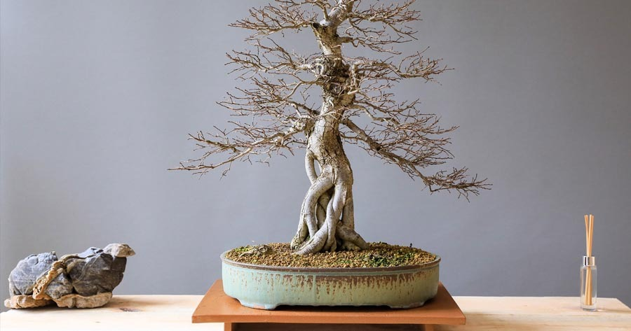 Bonsai antiguo